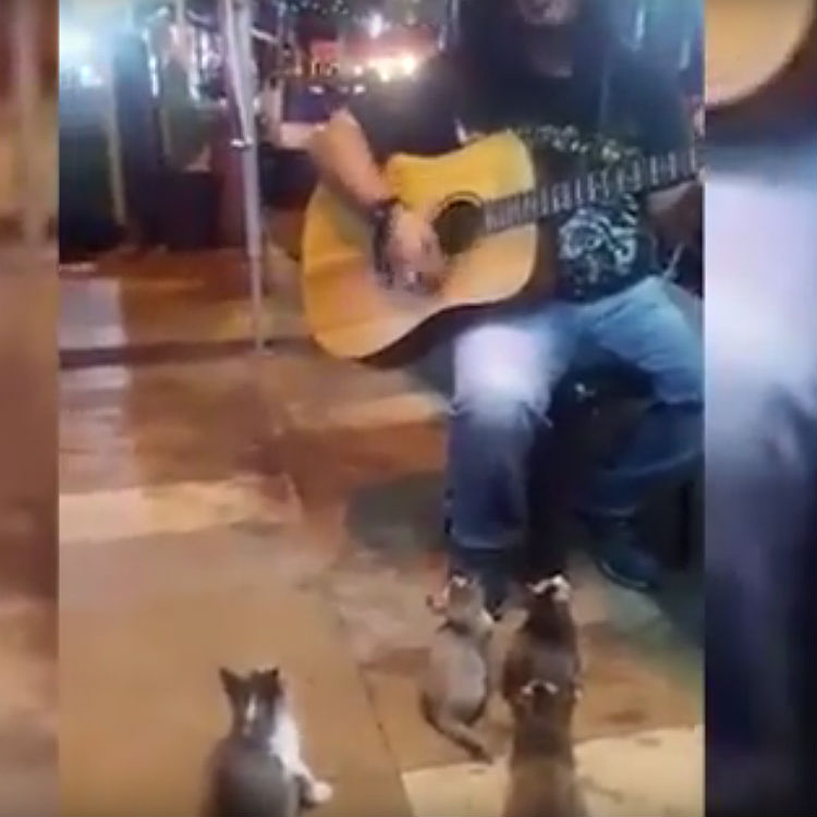 Kittens watching street busker perform in Malaysia video
